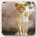 Lion on a rock looking at camera drink coaster