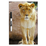 Lion on a rock looking at camera dry erase boards