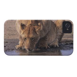 Lion (Panthera leo) at waterhole, Masai Mara iPhone 4 Case-Mate Cases