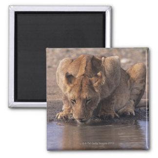 Lion (Panthera leo) at waterhole, Masai Mara Magnet