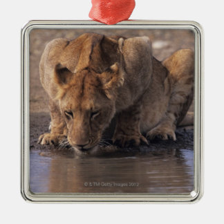 Lion (Panthera leo) at waterhole, Masai Mara Metal Ornament