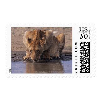 Lion (Panthera leo) at waterhole, Masai Mara Postage