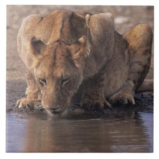 Lion (Panthera leo) at waterhole, Masai Mara Large Square Tile
