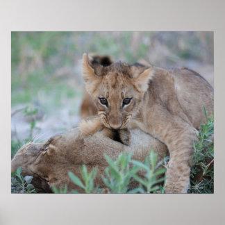 Lion (Panthera leo) cub biting mothers ear, Poster