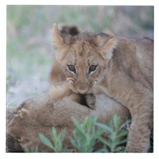 Lion (Panthera leo) cub biting mothers ear, Large Square Tile