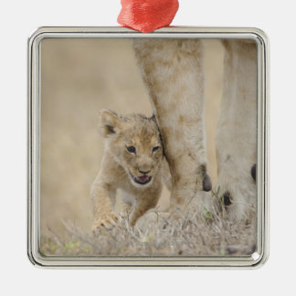 Lion (Panthera leo) cub playing by mothers feet, Metal Ornament