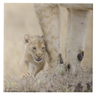 Lion (Panthera leo) cub playing by mothers feet, Large Square Tile
