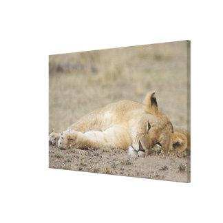 Lion (Panthera leo) cub resting, Masai Mara Game Canvas Print