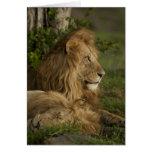 Lion, Panthera leo, Lower Mara, Masai Mara GR, Card