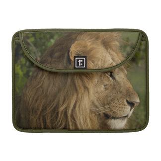 Lion, Panthera leo, Lower Mara, Masai Mara GR, MacBook Pro Sleeves