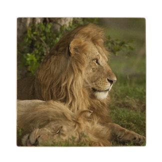 Lion Panthera leo Lower Mara Masai Mara GR Maple Wood Coaster
