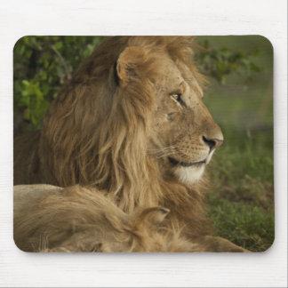 Lion, Panthera leo, Lower Mara, Masai Mara GR, Mouse Pad