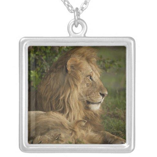 Lion, Panthera leo, Lower Mara, Masai Mara GR, Pendants