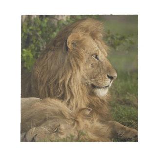 Lion, Panthera leo, Lower Mara, Masai Mara GR, Notepad