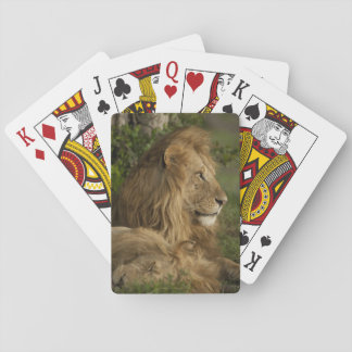 Lion, Panthera leo, Lower Mara, Masai Mara GR, Playing Cards