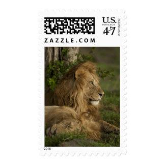 Lion, Panthera leo, Lower Mara, Masai Mara GR, Postage