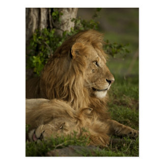 Lion, Panthera leo, Lower Mara, Masai Mara GR, Postcard