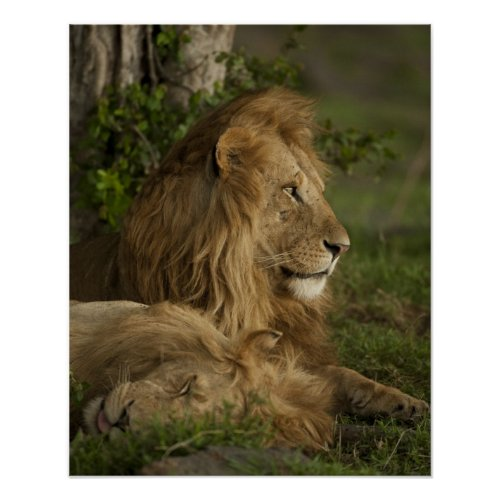 Lion Panthera leo Lower Mara Masai Mara GR Poster