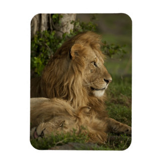 Lion Panthera leo Lower Mara Masai Mara GR Flexible Magnets