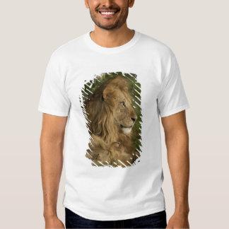Lion, Panthera leo, Lower Mara, Masai Mara GR, T-shirt