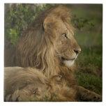 Lion, Panthera leo, Lower Mara, Masai Mara GR, Tiles