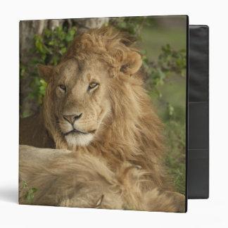 Lion, Panthera leo, males resting Vinyl Binders