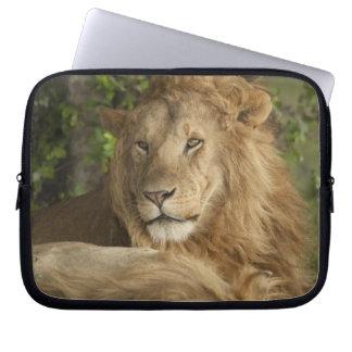 Lion, Panthera leo, males resting Computer Sleeve