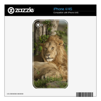 Lion, Panthera leo, males resting Decals For iPhone 4S