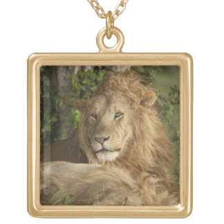 Lion, Panthera leo, males resting Gold Plated Necklace