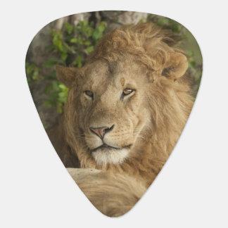 Lion, Panthera leo, males resting Guitar Pick
