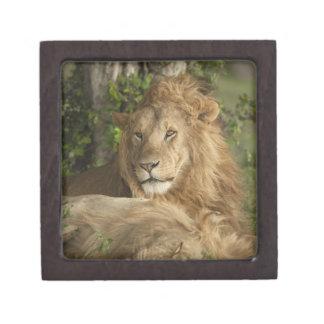 Lion, Panthera leo, males resting Keepsake Box