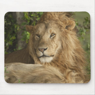 Lion, Panthera leo, males resting Mouse Pad