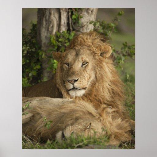 Lion, Panthera leo, males resting Poster