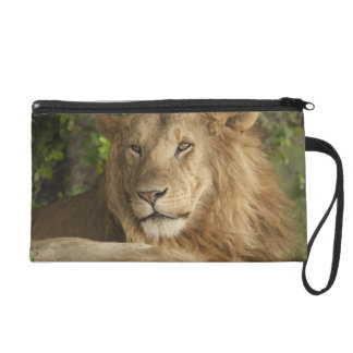 Lion, Panthera leo, males resting Wristlet Purse