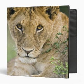 Lion, Panthera leo, Masai Mara, Kenya Binder