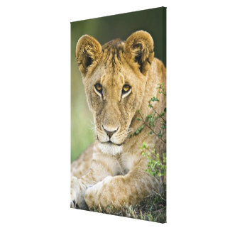 Lion, Panthera leo, Masai Mara, Kenya Canvas Print