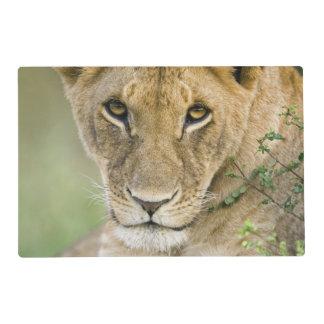 Lion, Panthera leo, Masai Mara, Kenya Placemat