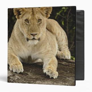 Lion, Panthera leo, Serengeti National Park, 3 Ring Binders