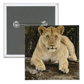 Lion, Panthera leo, Serengeti National Park, Pinback Button