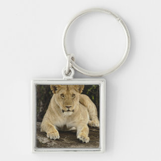 Lion, Panthera leo, Serengeti National Park, Keychain