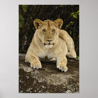 Lion, Panthera leo, Serengeti National Park, Poster