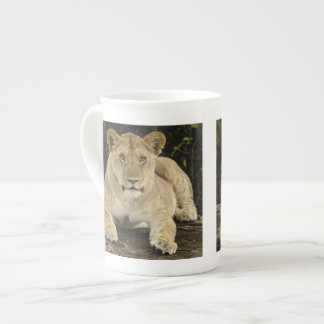 Lion, Panthera leo, Serengeti National Park, Tea Cup