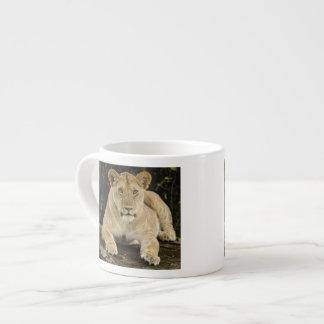 Lion, Panthera leo, Serengeti National Park, 6 Oz Ceramic Espresso Cup