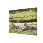 lion (Panthera leo),two young lioness, Masai Stretched Canvas Prints