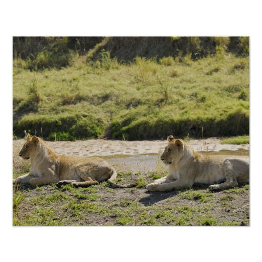 lion (Panthera leo),two young lioness, Masai Posters