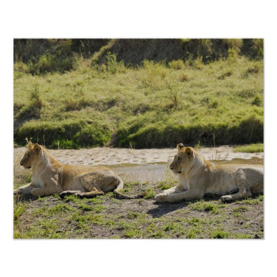 lion (Panthera leo),two young lioness, Masai Poster
