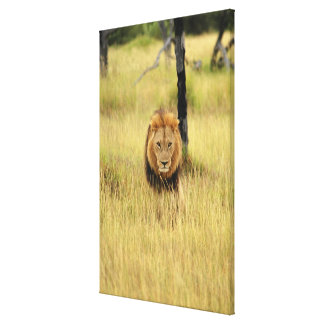 Lion (Panthera leo) walking in a forest, Canvas Print