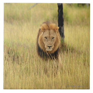 Lion (Panthera leo) walking in a forest, Ceramic Tile