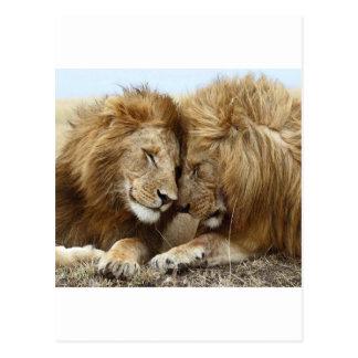 lion pic postcard