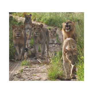 Lion pride canvas print